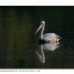 pelican_hebbal_01