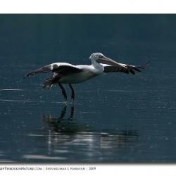 pelican_hebbal_03
