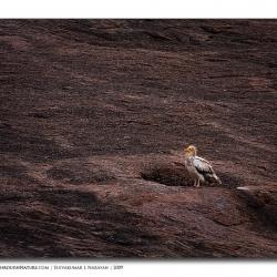 ramanagara_egyptianvultures_vulturescape
