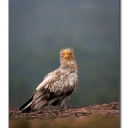 ramanagara_egyptianvultures_vulturestare