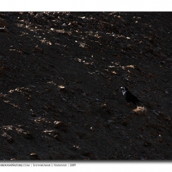 raven_scape_ladakh