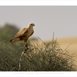 ruffleggedbuzzard_mg_6968