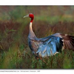 saruscrane_bharatpur_09