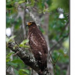 serpent_eagle_nagarhole