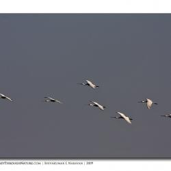 spoonbill_flight_bharatpur