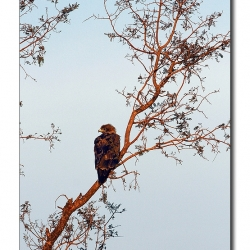 spotted_eagle_sirsi