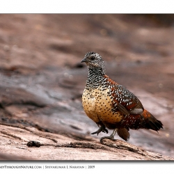 spurfowl_daroji