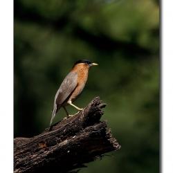 starling_bharatpur