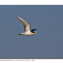 tern_flight_tghalli