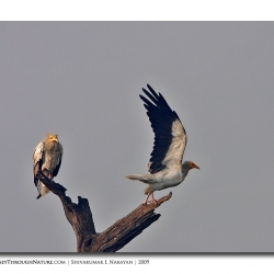 vulture_pair_bharatpur