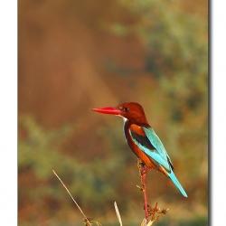 wt_kingfisher_bharatpur