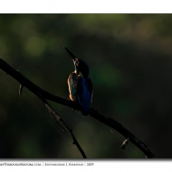 kingfisher_abstract
