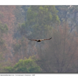marsh_harrier_hebbal_mg_0500