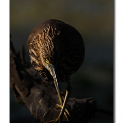 pond_heron_eye