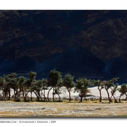 littletreesnubra_landscape_ladakh