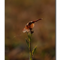 backlit_dragonfly_01