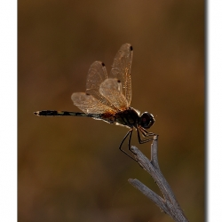 backlit_dragonfly_02