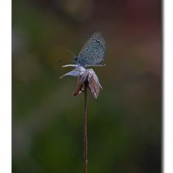 tghalli_butterfly_lifeondead