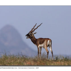 black_buck_call