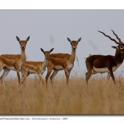 black_buck_family