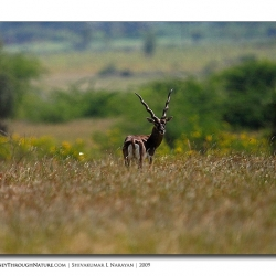 black_buck_habitat