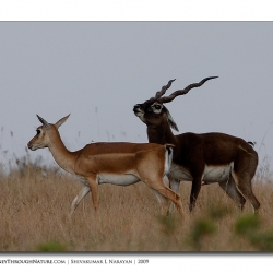 black_buck_mating