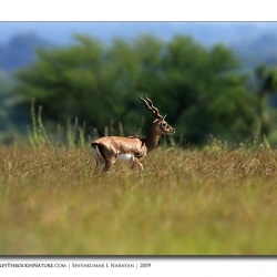 black_buck_side