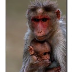 bonnet_macaque_mom_kid