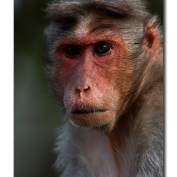 bonnet_macaque_portrait
