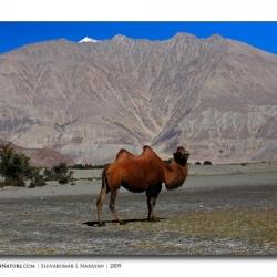 doublehumpedcamel_ladakh