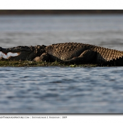 fresh_water_croc_kabini