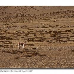 kiang_scape_ladakh
