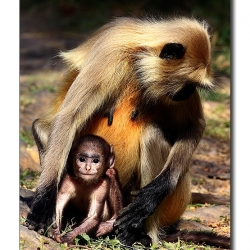 langur_mom_kid
