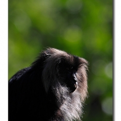 liontailedmacaque_valparai_mg_8171