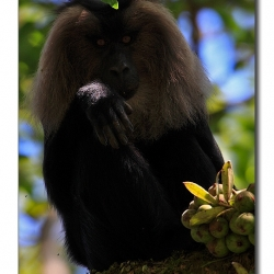 liontailedmacaque_valparai_mg_8178