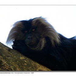 liontailedmacaque_valparai_mg_8186