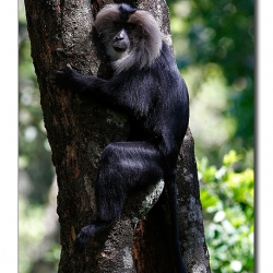 liontailedmacaque_valparai_mg_8240
