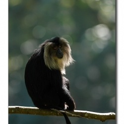 liontailedmacaque_valparai_mg_8317