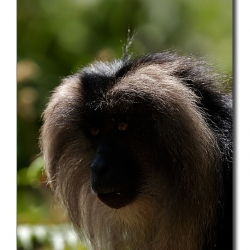 liontailedmacaque_valparai_mg_8353