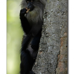 liontailedmacaque_valparai_mg_8389