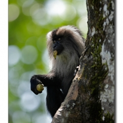liontailedmacaque_valparai_mg_8393