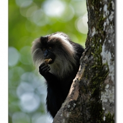 liontailedmacaque_valparai_mg_8394