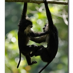 liontailedmacaque_valparai_mg_8396