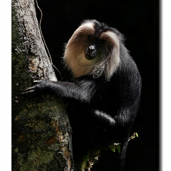 liontailedmacaque_valparai_mg_8494