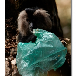 liontailedmacaque_valparai_mg_8788