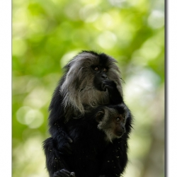 liontailedmacaque_valparai_mg_8802