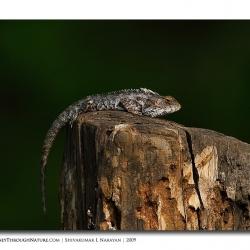 lizard_nagarhole