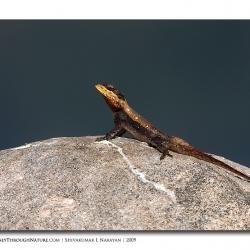 lizard_tghalli01