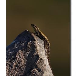 lizard_tghalli02