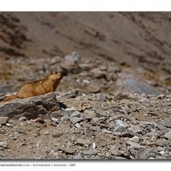 marmot_scape_ladakh